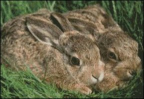 Hare Pair